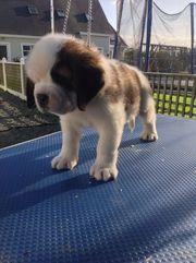 Stunning St Bernard Puppies